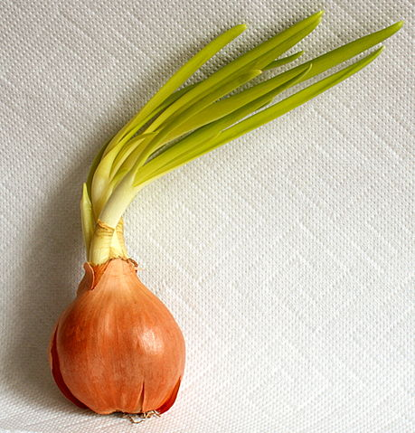 A sprouting onion with green leaves by Hedwig Storch